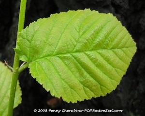 Elm_leaf